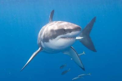 b2ap3_thumbnail_130702_great_white_shark_jpg_CROP_article568-large.jpg